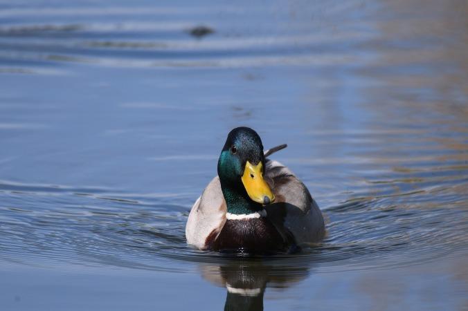 duck-3366779_1920.jpg
