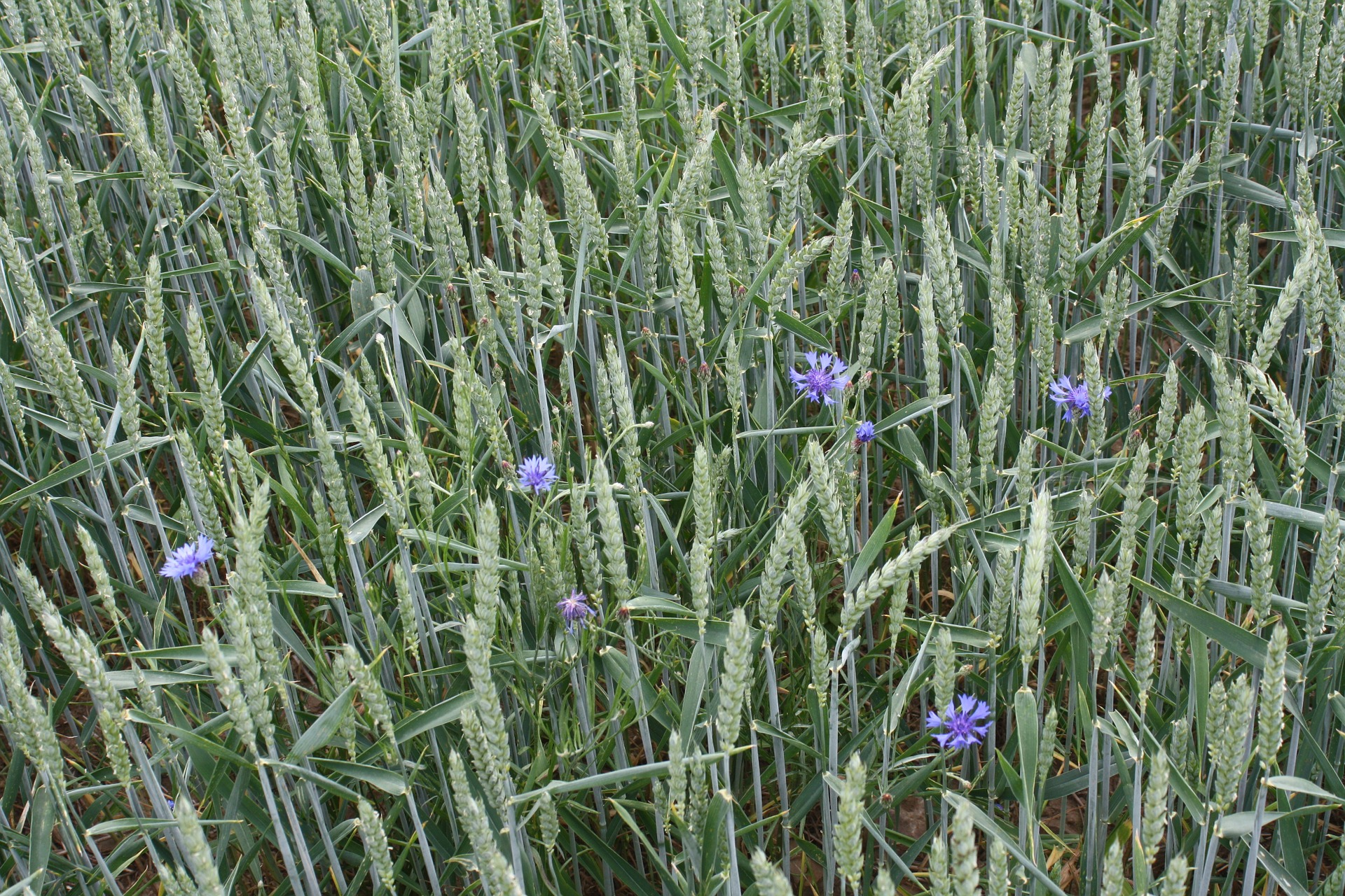 wheat-673563_1920